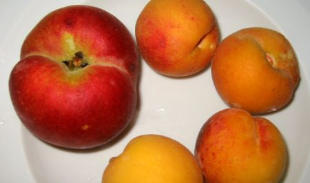 toms peaches1 Growing Peach Trees Organically: Peach Leaf Curl Resistant Varieties I Grow