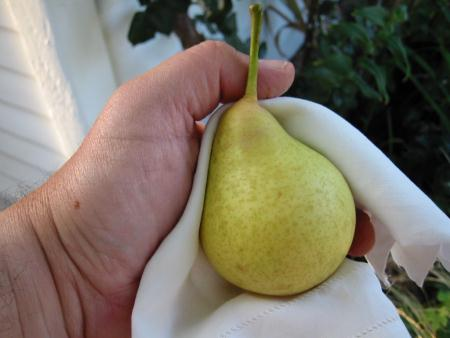 Tyson Pear: Portrait of an Heirloom Fruit