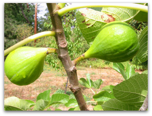 two unripe Desert King figs