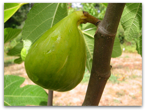 2009 08 14 ripe fig How to Know When a Fig Is Ripe and Ready to Pick