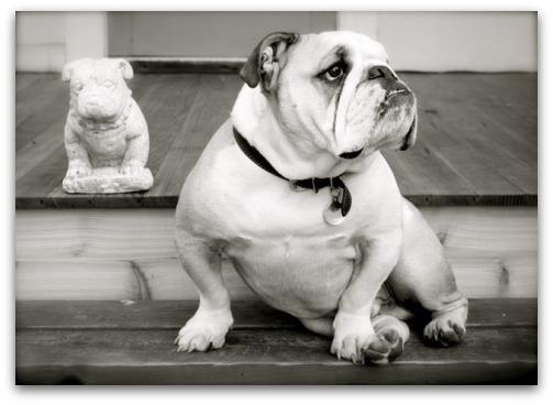 Boz the Bulldog: Fine Art's Poster Boy