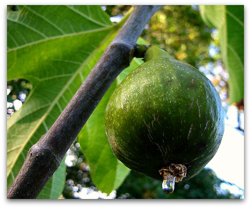 perfectly ripe fig