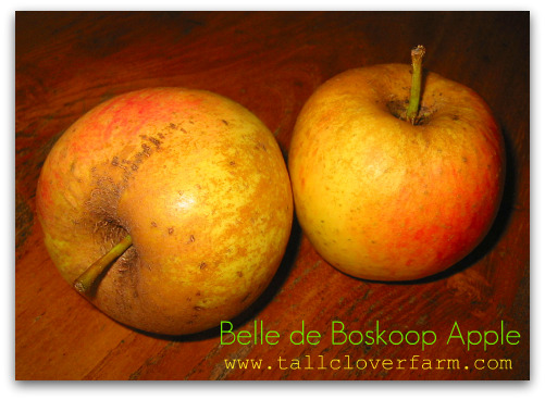 Blog belle de boskoop apple How Do I Like Them Apples? (Pomologically Speaking)