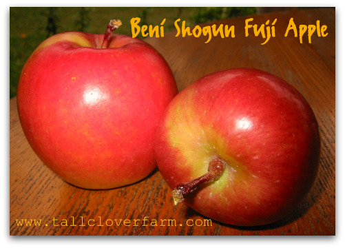 blog beni shogun fuji apple Great Apple Trees for Seattle