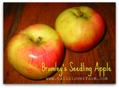 blog bramleys seedling apple Great Apple Trees for Seattle