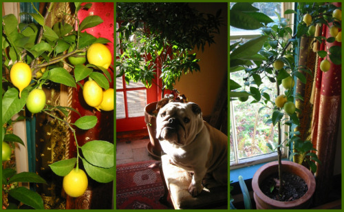 blog lemon collage Got Lemons? Its Easy to Grow Your Own Tree