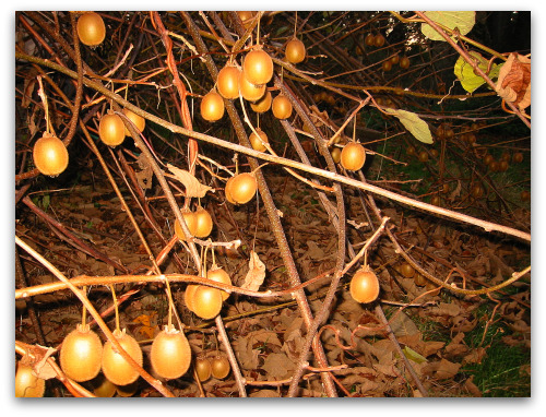 blog_kiwi_fruit_vine