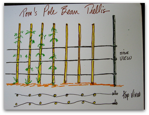 Beans Plant Drawing Drawing of Pole Bean Trellis