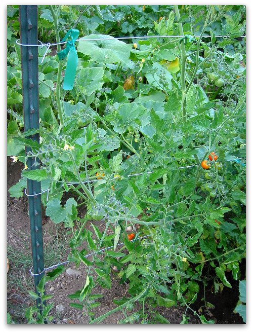 tomato trellis How to Make a Tomato Trellis: A Cagey Alternative