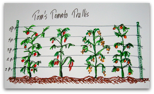 toms tomato trellis How to Make a Tomato Trellis: A Cagey Alternative