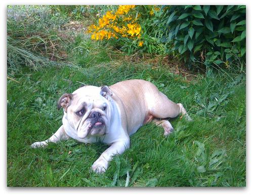 Boz the bulldog handsome as ever