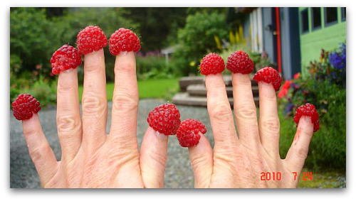 Debs raspberry fingers Juneau Alaska Toms Top Ten Reasons to Grow Raspberries