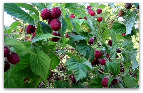 raspberry plants ripe berries Toms Top Ten Reasons to Grow Raspberries