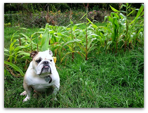 English bulldog Boz ponders the corn field