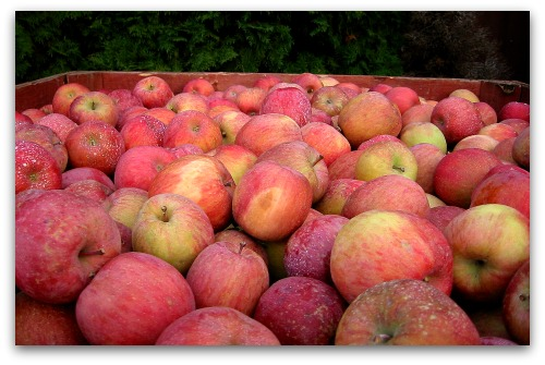 just picked fuji apples Over the Pass to Apple Country