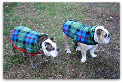 bulldogs in tartans