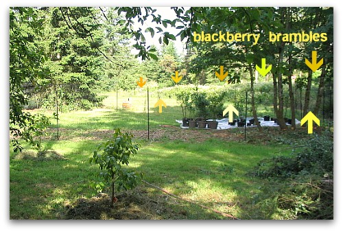 blackberry Brambles Gone Wild: How to Remove Blackberries
