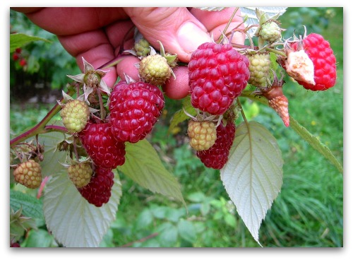 fresh raspberries on the cane Pruning Raspberries: Gardenings Whos on First?