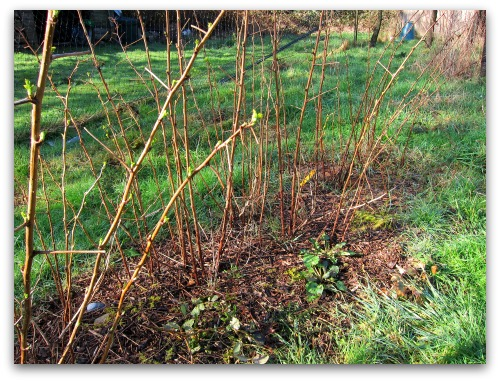 pruning raspberries caroline unpruned Pruning Raspberries: Gardenings Whos on First?