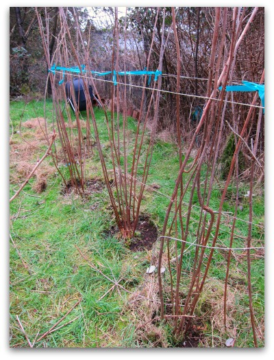 pruning raspberries tulameen after How to Prune Raspberries