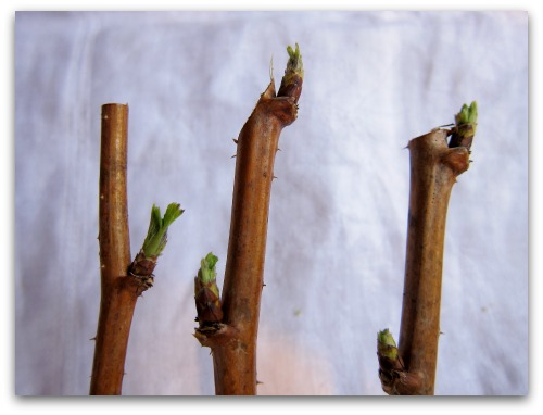 pruning raspberry canes tip prunes Pruning Raspberries: Gardenings Whos on First?