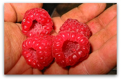 raspberries in hand Pruning Raspberries: Gardenings Whos on First?