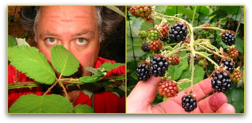 blackberries and brambles Brambles Gone Wild: How to Remove Blackberries