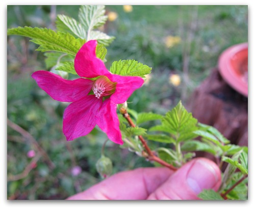 Salmonberry Flower: Pretty in Pink