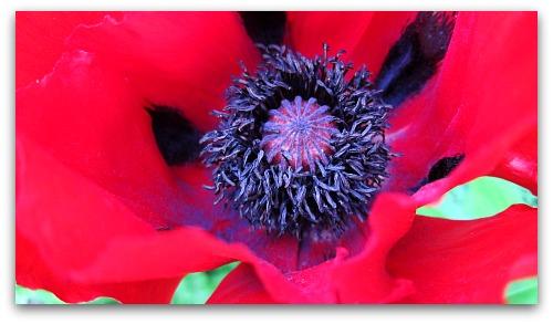 Livermere poppy