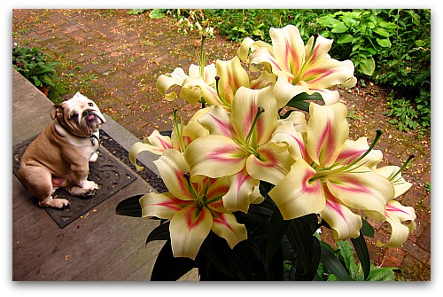 Boz and Bonbini Oriental Lilies Lilies: How to Make Lily Flowers Last Longer