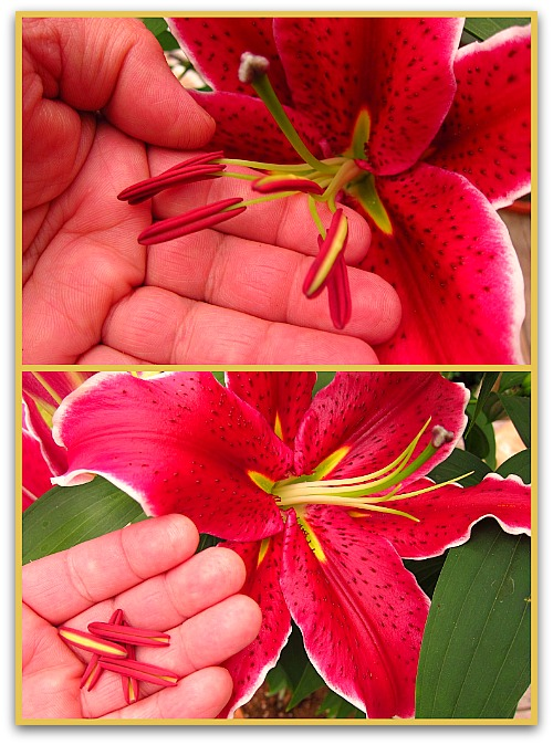 lily stamen closeup Lilies: How to Make Lily Flowers Last Longer
