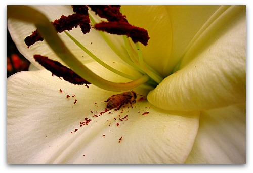 pollen laden lily stamens and bee Lilies: How to Make Lily Flowers Last Longer