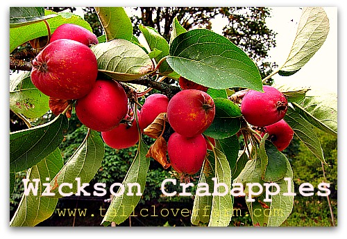 wickson crapapples How Do I Like Them Apples? (Pomologically Speaking)