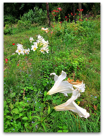 white meadow lilies Lawn to Meadow: Gardening on the Wild Side