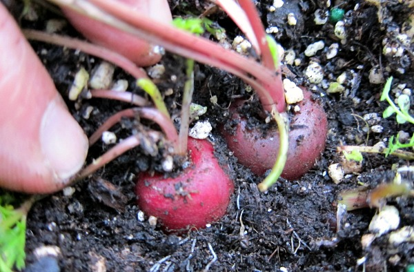 how to grow carrots from seed in containers